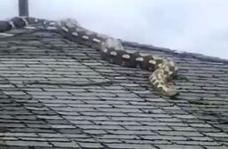 Snake on Roof - Detroit