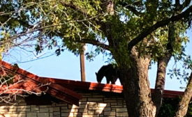 Black bear on roof-Texas